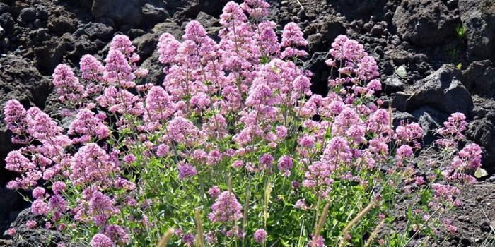 Цветущая трава валериана
