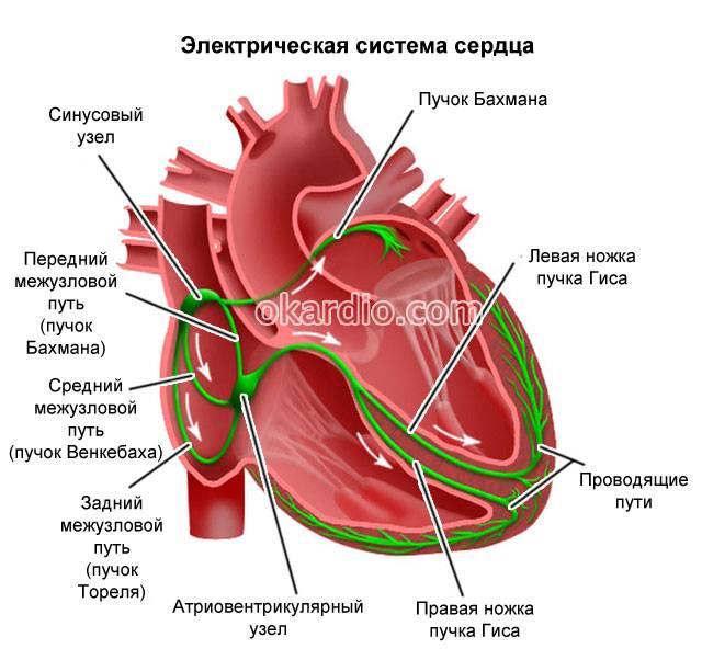 электрическая система сердца