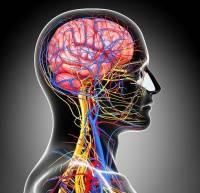 анатомия брахиоцефальных артерий