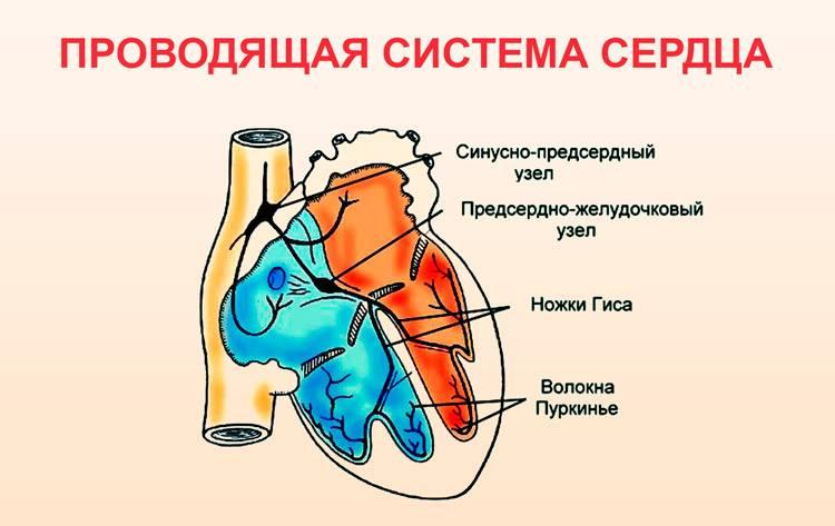 Строение проводящей системы сердца