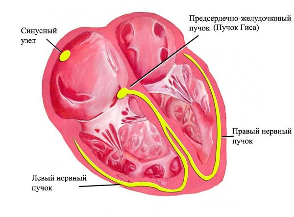 59c8f616e5e7e59c8f616e5f2d - Bradycardia of the heart - symptoms and treatment with folk remedies