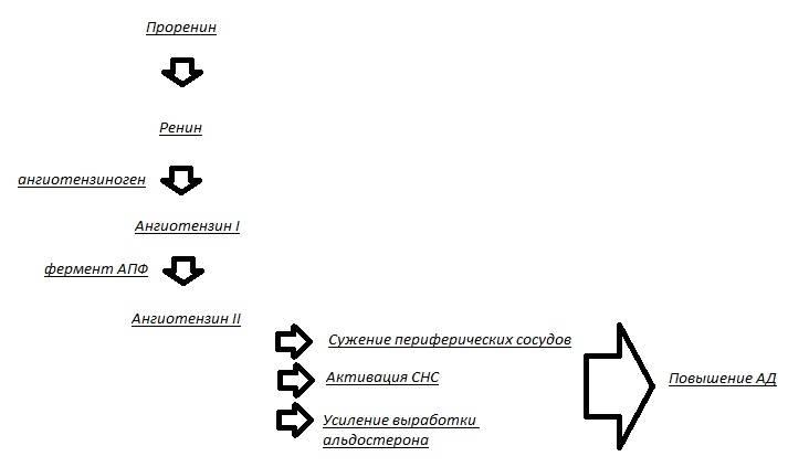renin-angiotenzin