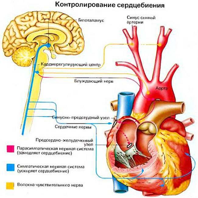 Физиология учащения сердцебиения
