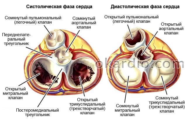 клапаны сердца в систолической и диастолической фазе