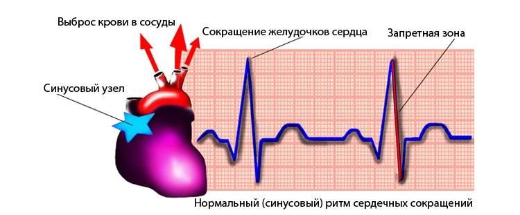 Нормальные значения ритма и его анатомия