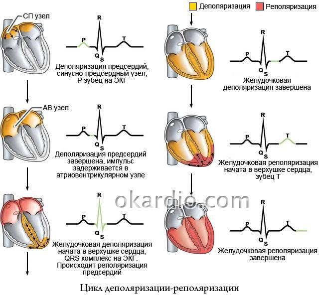 сердечный цикл деполяризации-реполяризации