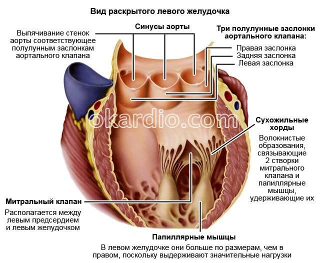 вид раскрытого левого желудочка