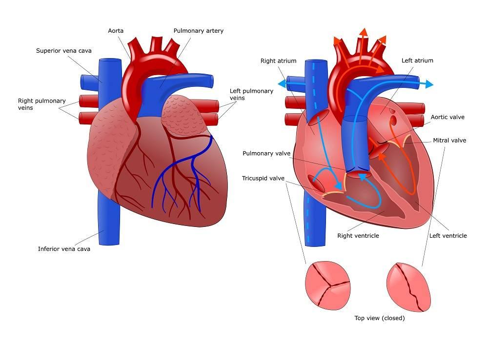 Клапан сердца трехстворчатый — Сердце