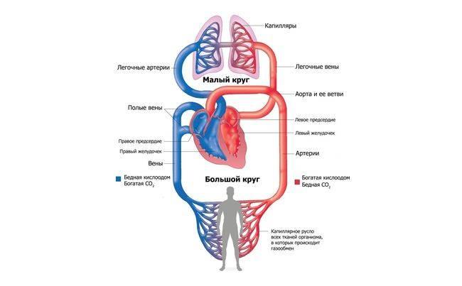 Кашель при сердечной недостаточночти вызывается застоем крови в малом круге кровообращения