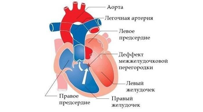 Анатомическое строение органа