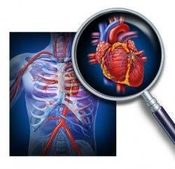 Анатомия сердца